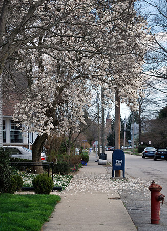 Williams Street in semi-full-bloom